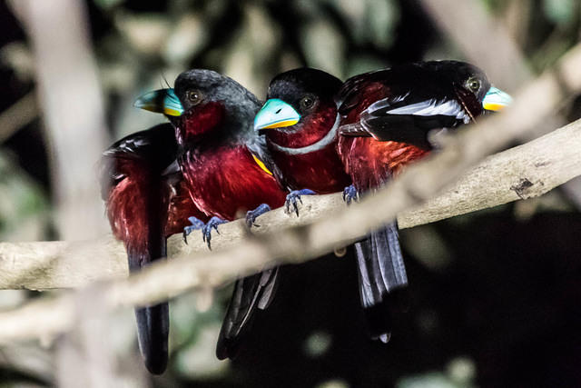 Picture of four black-and-red broadbills.