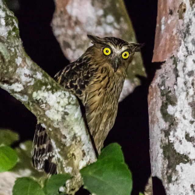 Picture of buffy fish owl at night.