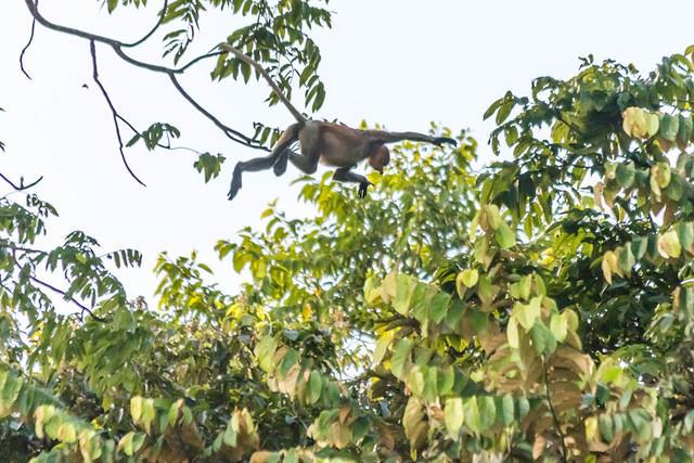 Picture of jumping proboscis monkey.