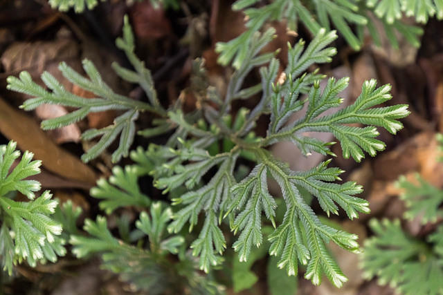 Picture of evergreen plant.