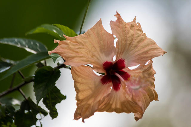 Picture of hibiscus flower.