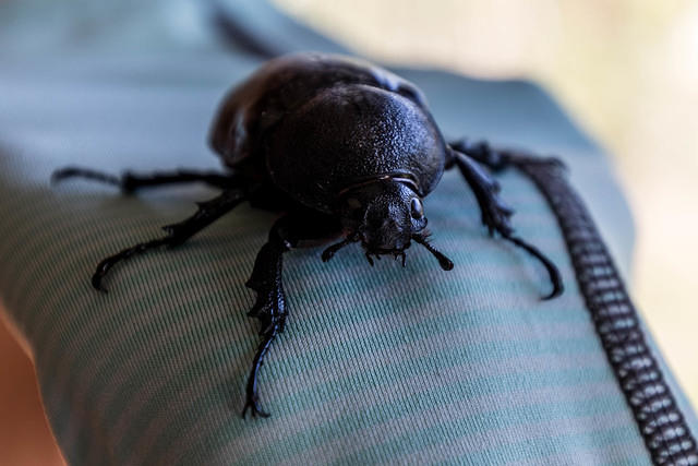Picture of beetle.