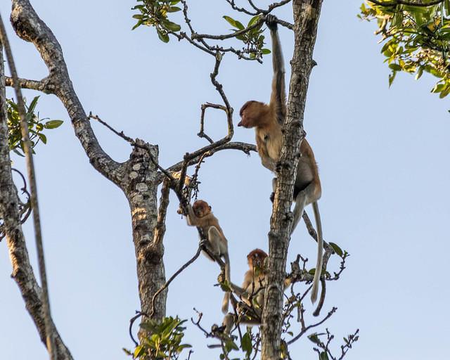 Picture of proboscis monkey family.