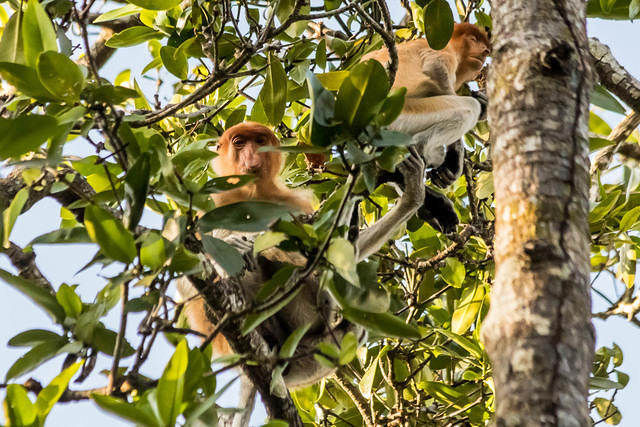 Picture of proboscis monkeys.