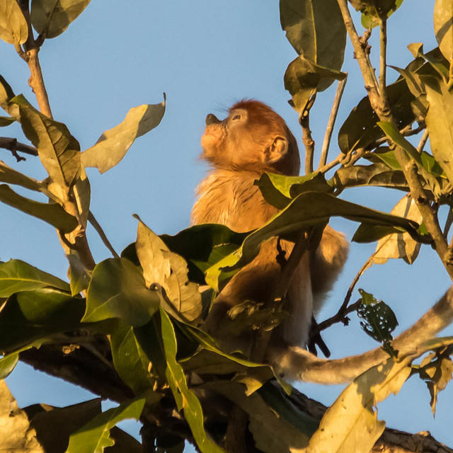 Picture of baby proboscis monkey.