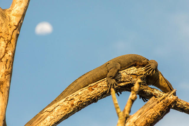 Picture of monitor lizard with moon in background.