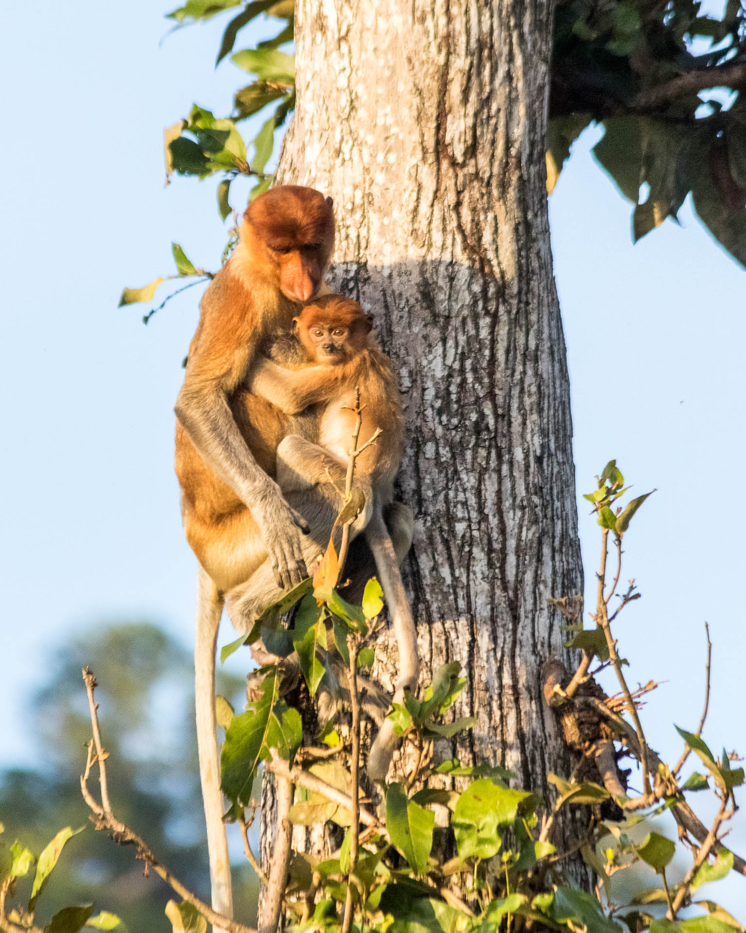 Picture of mother and baby proboscis monkeys.
