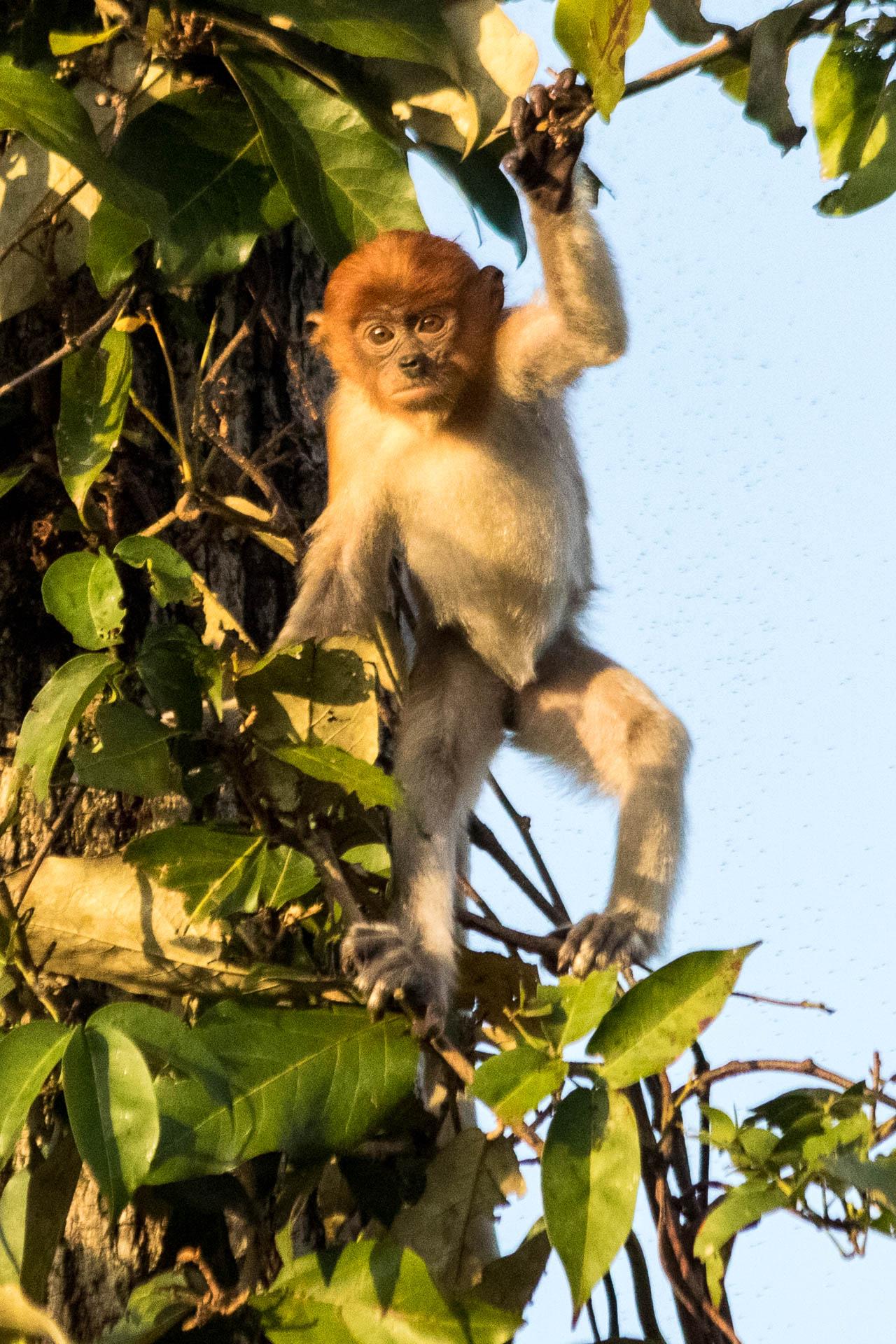 Picture of baby proboscis monkey.