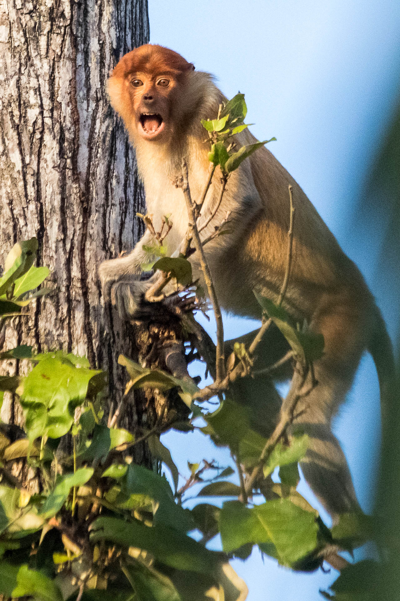 Picture of shouting proboscis monkey.