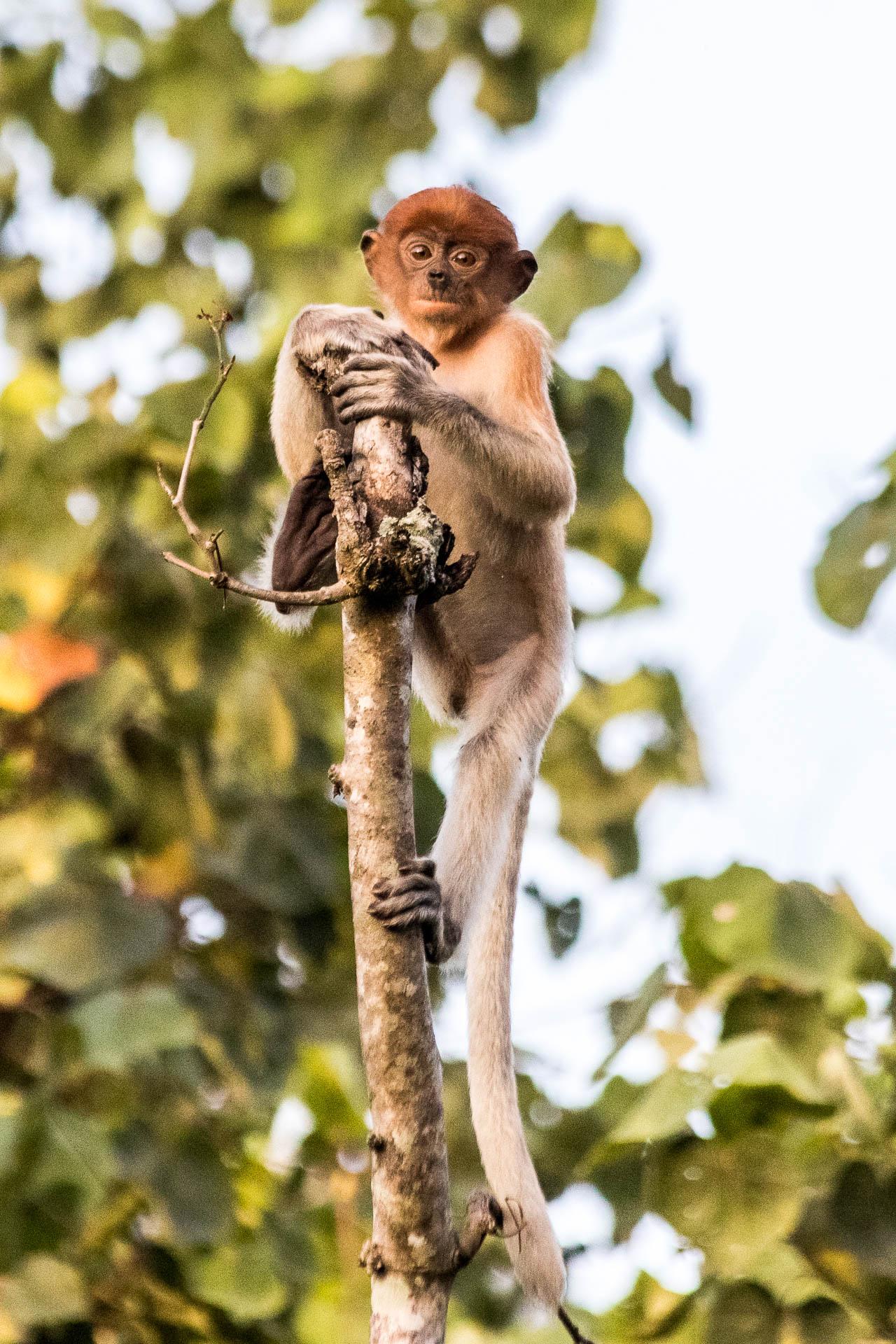 Picture of proboscis monkey.