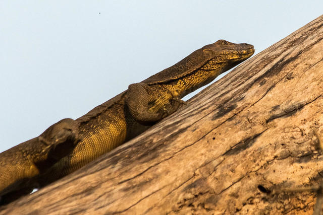 Picture of monitor lizard.