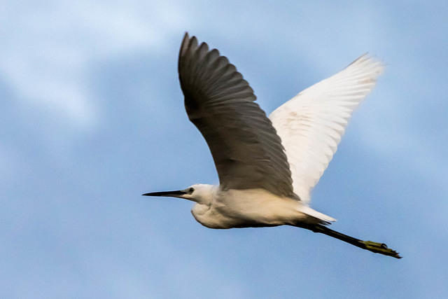 Picture of egret.