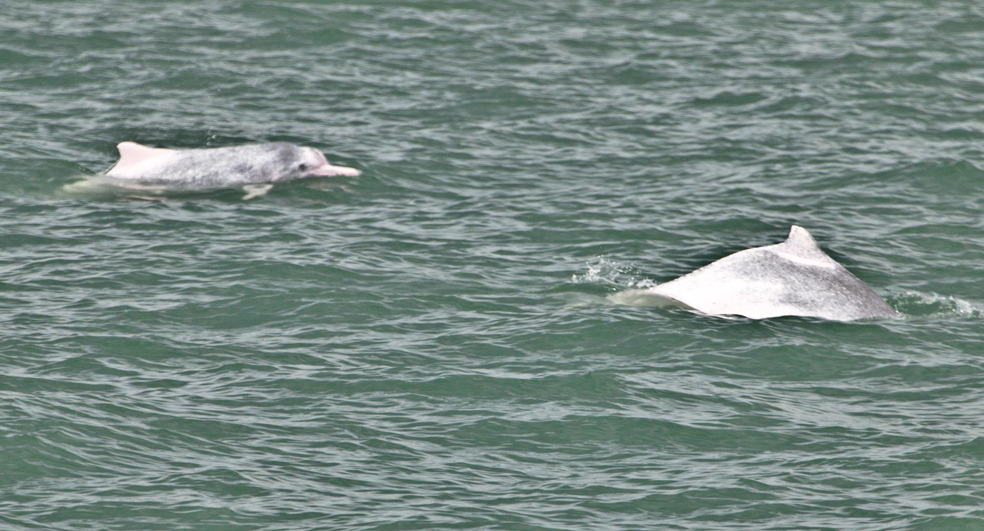Pink dolphins of Hong Kong.