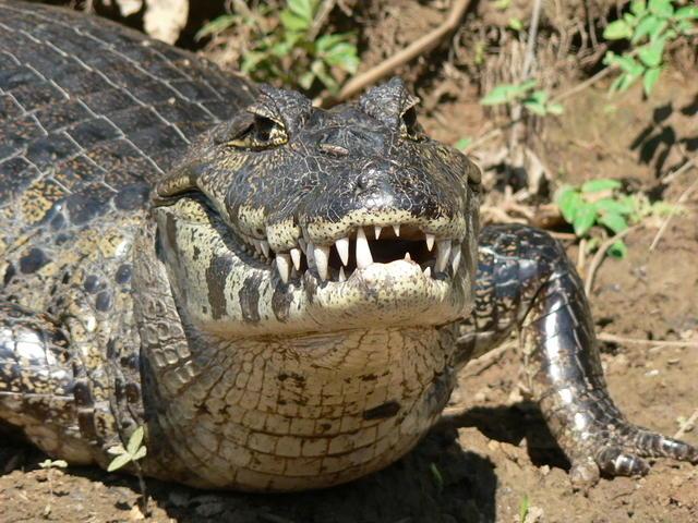 Picture of alligator.