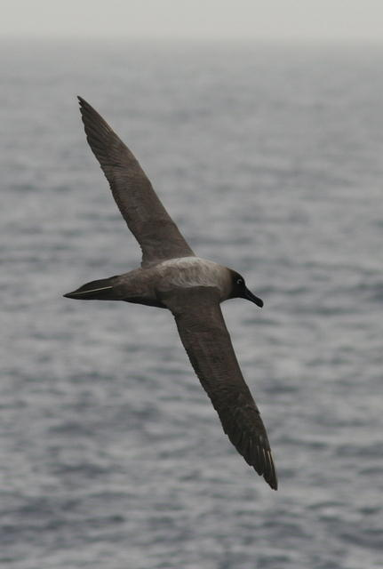 Picture of an albatross.